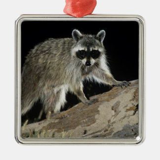 Northern Raccoon, Procyon lotor, adult at 2 Christmas Tree Ornament