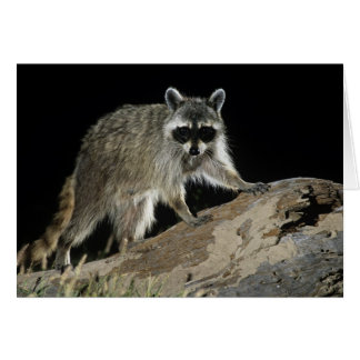 Northern Raccoon, Procyon lotor, adult at 2 Greeting Card