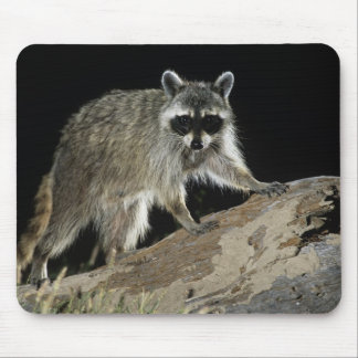 Northern Raccoon Procyon lotor adult at 2 Mouse Pads
