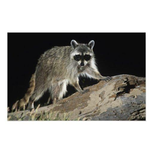 Northern Raccoon, Procyon lotor, adult at 2 Photo Art