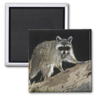 Northern Raccoon, Procyon lotor, adult at 2 Square Magnet