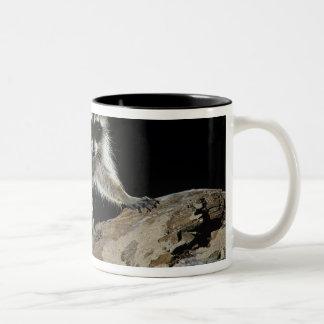 Northern Raccoon, Procyon lotor, adult at 2 Two-Tone Mug