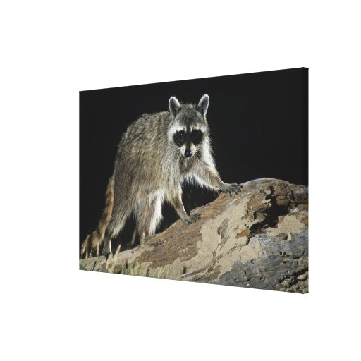 Northern Raccoon, Procyon lotor, adult at Gallery Wrap Canvas