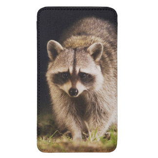 Northern Raccoon, Procyon lotor, adult at