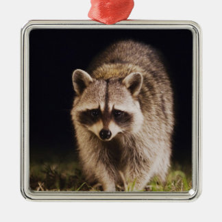 Northern Raccoon, Procyon lotor, adult at Ornament