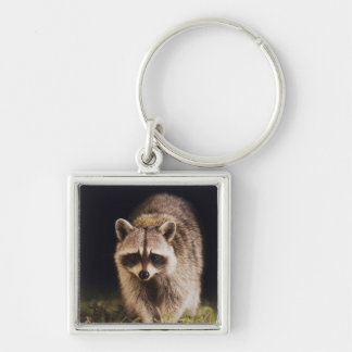 Northern Raccoon Procyon lotor adult at Keychain