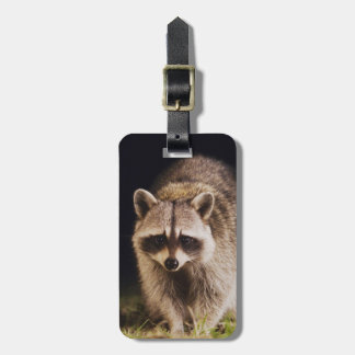 Northern Raccoon, Procyon lotor, adult at Luggage Tag