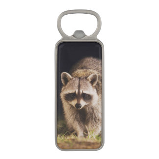 Northern Raccoon, Procyon lotor, adult at Magnetic Bottle Opener