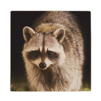 Northern Raccoon, Procyon lotor, adult at Maple Wood Coaster