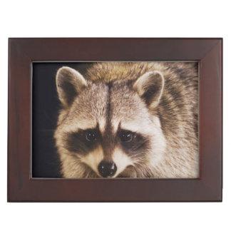 Northern Raccoon, Procyon lotor, adult at Memory Box