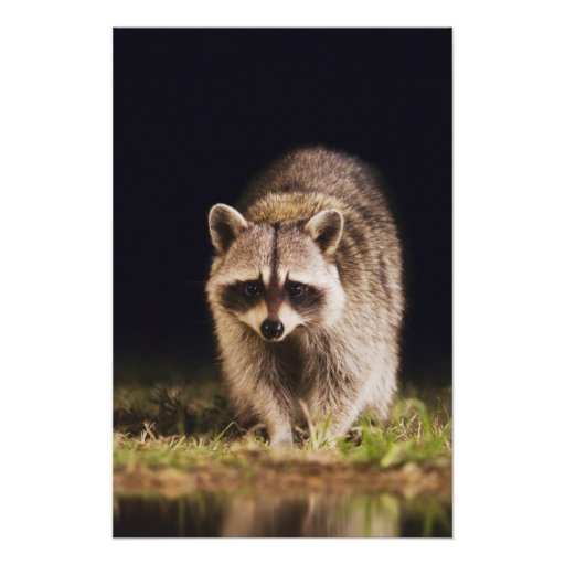 Northern Raccoon, Procyon lotor, adult at Photo