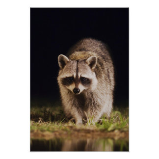 Northern Raccoon, Procyon lotor, adult at Poster