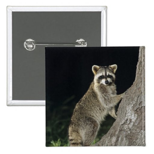 Northern Raccoon, Procyon lotor, adult at tree Buttons