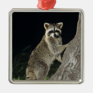 Northern Raccoon, Procyon lotor, adult at tree Christmas Tree Ornament
