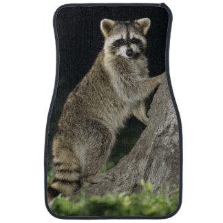 Northern Raccoon, Procyon lotor, adult at tree Floor Mat