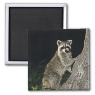 Northern Raccoon, Procyon lotor, adult at tree Refrigerator Magnet