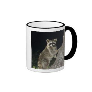 Northern Raccoon, Procyon lotor, adult at tree Mugs