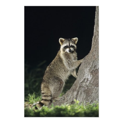 Northern Raccoon, Procyon lotor, adult at tree Photographic Print