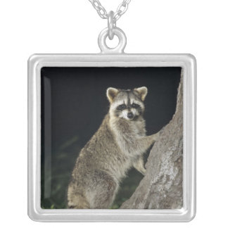 Northern Raccoon, Procyon lotor, adult at tree Silver Plated Necklace