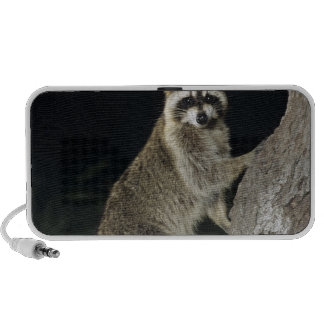 Northern Raccoon, Procyon lotor, adult at tree iPhone Speakers