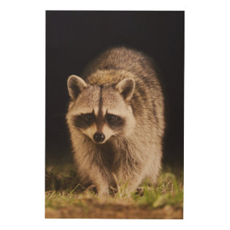 Northern Raccoon, Procyon lotor, adult at Wood Canvas