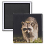 Northern Racoon, Procyon lotor, adult at