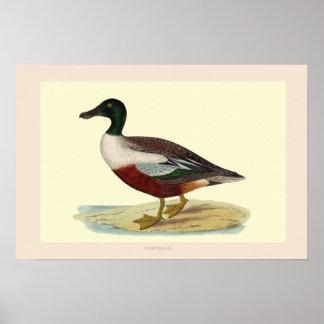 Northern Shoveler duck (Shoveller) Poster