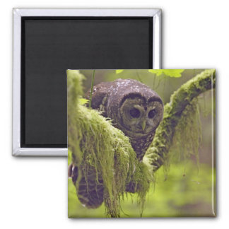 Northern Spotted Owl Strix occidentals Square Magnet