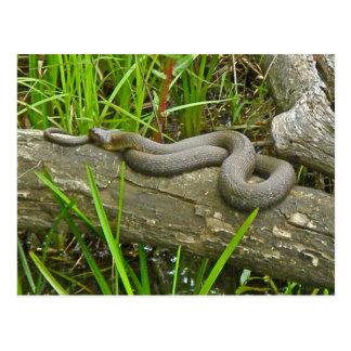 Northern Water Snake Basking on Log Multiple Items Postcard