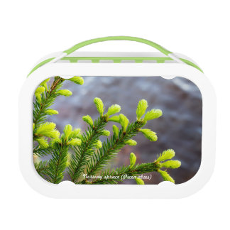 Norway spruce lunchboxes