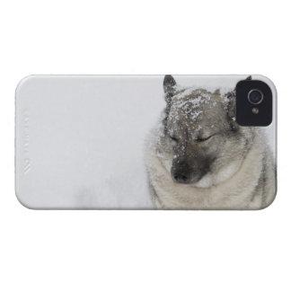 Norwegian Elkhound iPhone 4 Covers