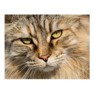Norwegian Forest Cat Postcard