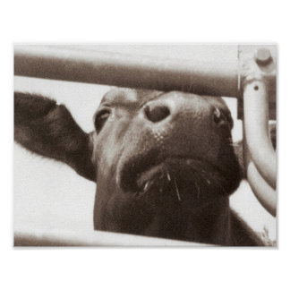 Nosey cow poster