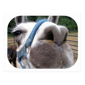 Nosy Llama Postcard