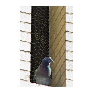 Not So Angry Pigeon! Acrylic Wall Art