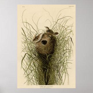 Nuttall's lesser marsh Wren Poster