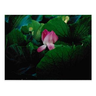 Nymphaea Aquatic Flower Plant Postcard