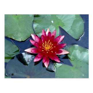 Nymphaea atropuperea, red, hardy water lily post cards
