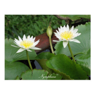 Nymphaea Flower Waterlily Postcard