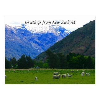 nz sheepscape post card