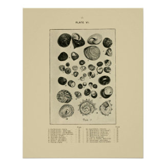 NZ Shells Poster