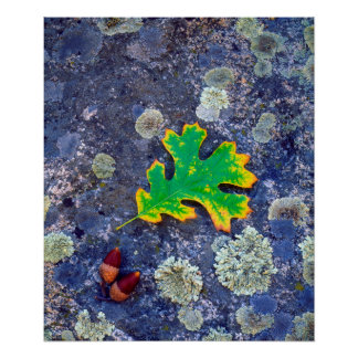 Oak Leaf and Acorns on a Lichen covered rock Poster