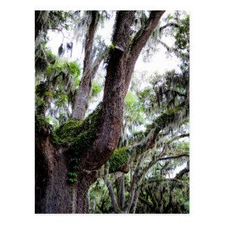 oak & mossGeorgia Live Oaks And Spanish Moss Postcard
