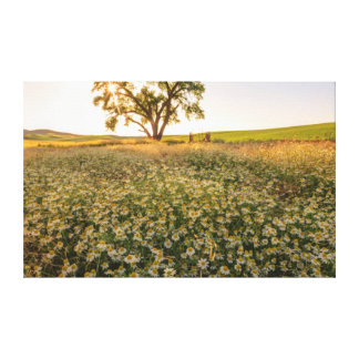 Oak Tree near field of Oxeye Daisies 1 Stretched Canvas Prints