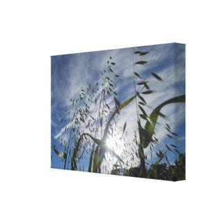 Oats Against Cloud Canvas Print