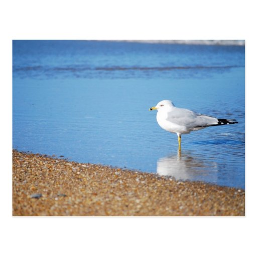 OBX Seagull on the North Carolina Coast Bird Postcard