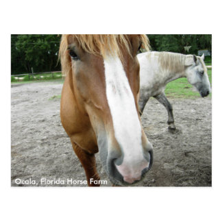 Ocala Florida Horse Farm Horses Postcard Florida