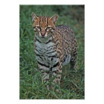 OCELOT Leopardus pardalis) CENTRAL AMERICA Poster