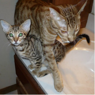 ocicat Tawny_kitten_with_cinnamon_mother Photo Sculpture Key Ring