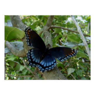 Ohio Blue Swallowtail Butterfly Poster